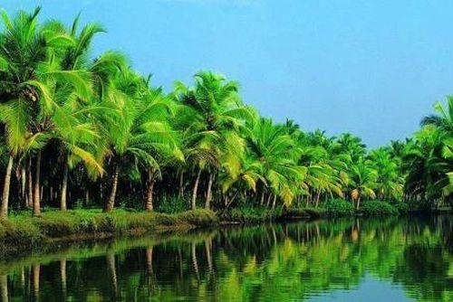 Xây dựng vùng nguyên liệu dừa hữu cơ đạt chuẩn quốc tế