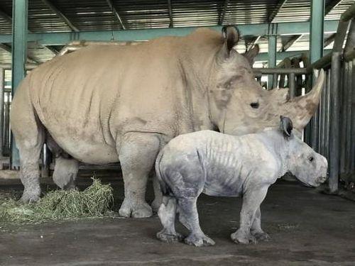 Kỷ lục 4 tê giác con chào đời trong vòng 16 tháng tại Vinpearl Safari