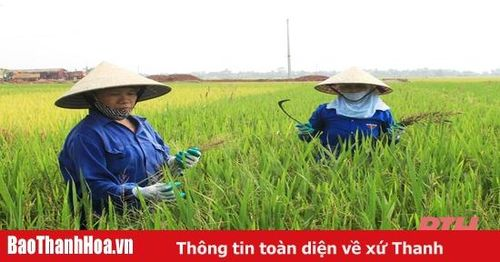 Gần 1.000 ha lúa bị nhiễm khô vằn