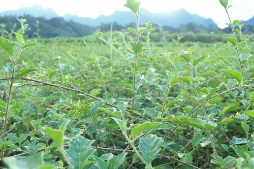 Cầm sổ đỏ vay tiền 'nuôi' cây dược liệu quý, bản nghèo 'đổi đời' sau 2 năm