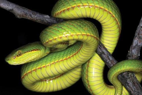 Khám phá loài rắn có tên trong tác phẩm Harry Potter