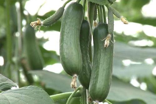 Lâm Đồng: Thu 2 tỷ đồng/năm nhờ mô hình trồng rau củ 'tí hon' sạch