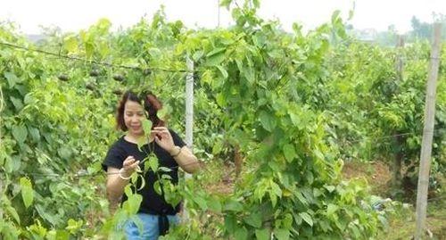 Nghiên cứu trồng cây sachi ở Việt Nam để tạo ra nhiều sản phẩm dinh dưỡng độc đáo