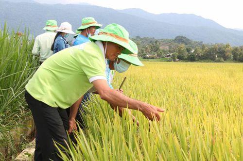 Giống lúa TBR97 đạt năng suất trên 8 tấn/ha tại Đắk Lắk
