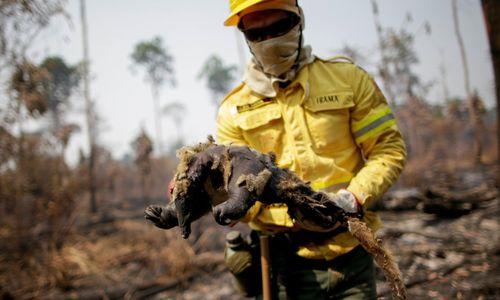Tác động tàn khốc của con người đến động vật hoang dã ở Amazon