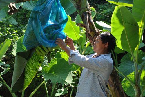Hỗ trợ người dân nâng cao năng suất cho cây chuối ở Nậm Chảy