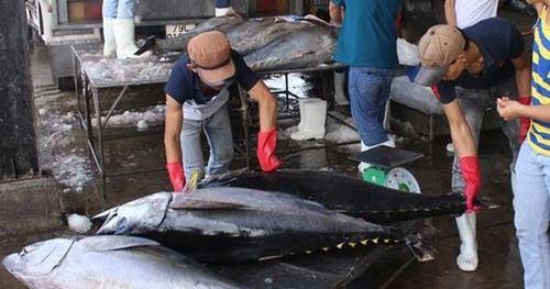 Xuất cá ngừ sang châu Âu theo EVFTA