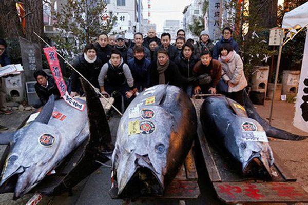 Cá ngừ vây xanh Thái Bình Dương nặng 405kg giá 7,1 tỷ