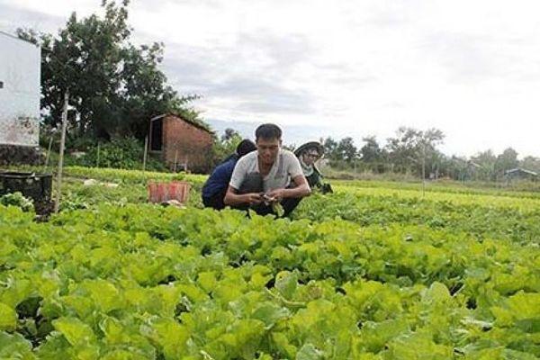 Tin tức Tây Nguyên': Gập ghềnh rau VietGAP ra thị trường