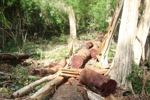 Đắk Lắk: Phát hiện hàng chục cây gỗ quý bị đốn trộm
