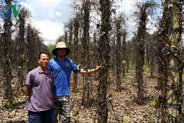 Gần nghìn tỷ đồng trồng hồ tiêu 'trôi' theo mưa