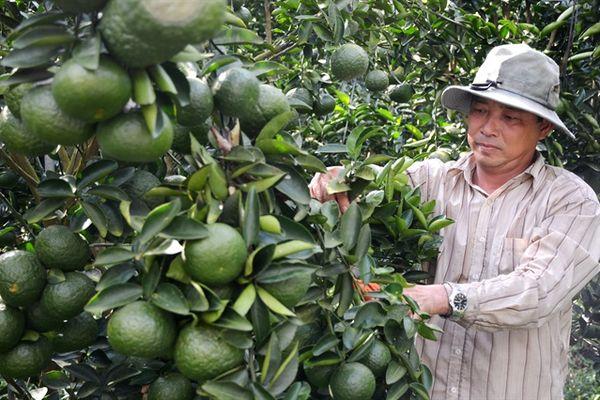 Người tiên phong trồng cây cam sành trên đất phèn