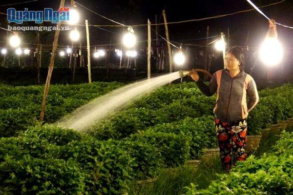 Chong đèn 'nuôi' hoa Tết
