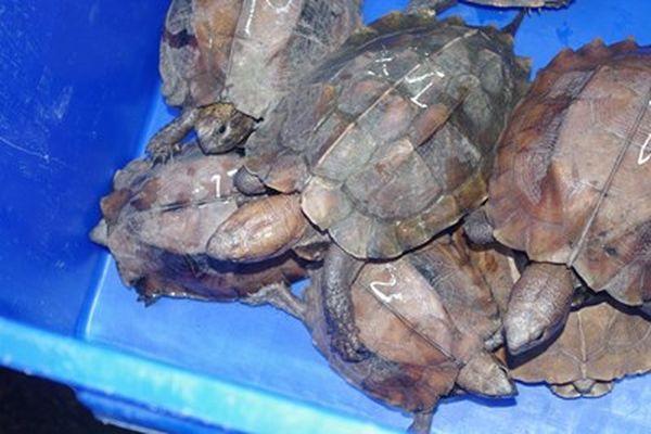 Chi cục Kiểm Lâm Đồng Tháp phản hồi vụ vận chuyển Rùa đầu to nghi 'phù phép' nguồn gốc hợp pháp