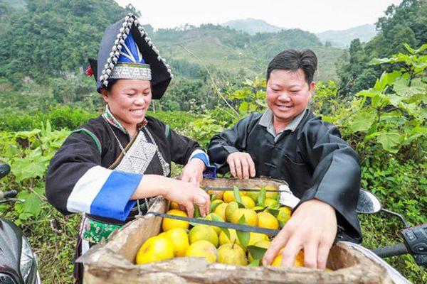 Dân Pa Dí thu nhập hàng trăm triệu nhờ bán quýt ngọt qua mạng