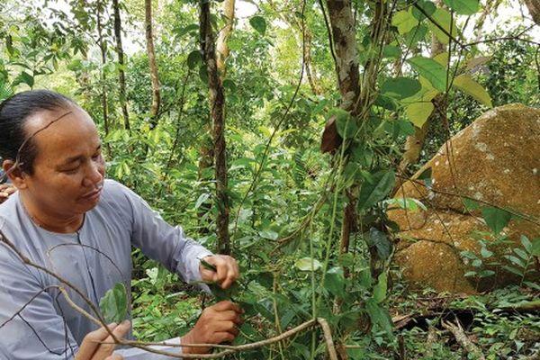 Những cây thuốc quý mọc hoang trên núi Cấm