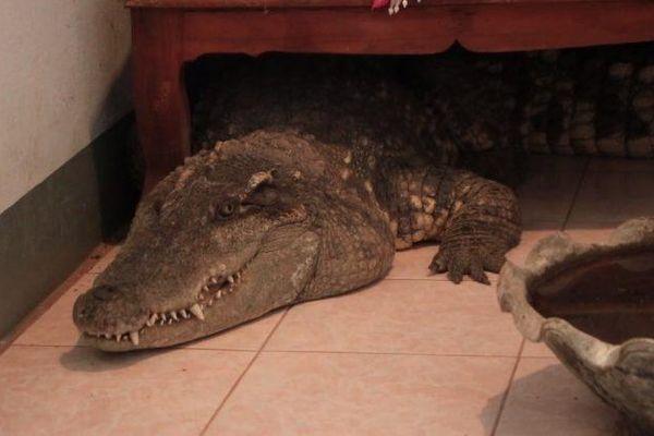 Ngỡ ngàng người đàn ông sống với cá sấu trong suốt 20 năm