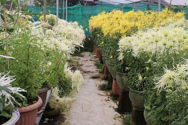 Vườn hoa cúc bạc tỷ kén chọn người mua của 'quái nhân' Hà Thành