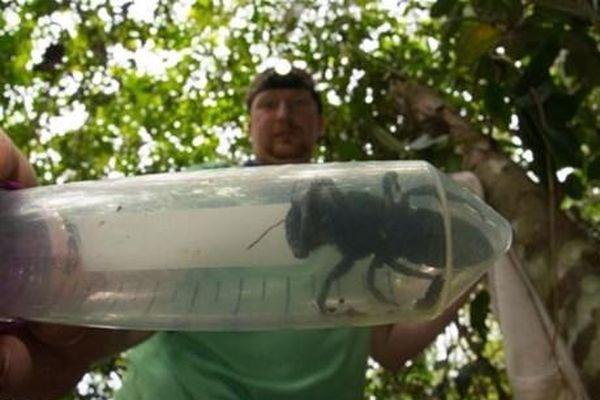 Loài ong lớn nhất thế giới bất ngờ xuất hiện ở Indonesia