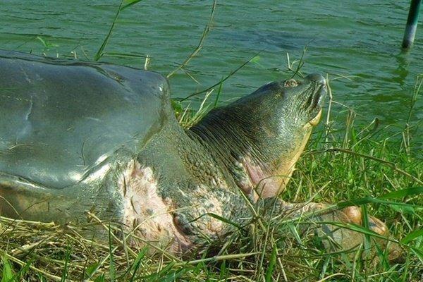 Rùa hồ Gươm trong lịch sử