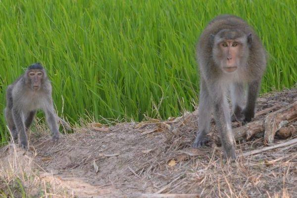 Sẽ bắn hạ những con khỉ hoang cắn người ở Sóc Trăng