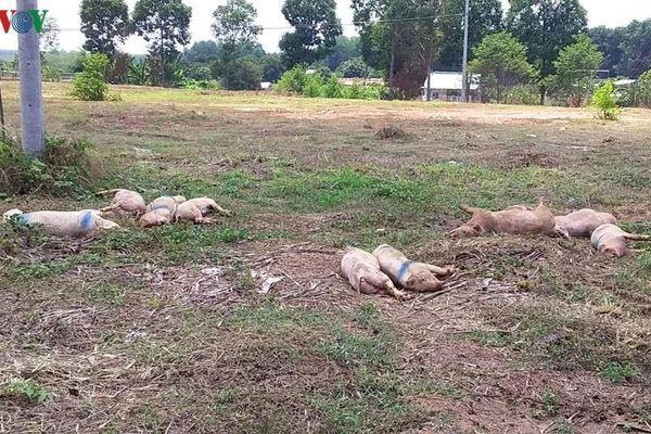 Lợn chết thối hai ngày, địa phương khẳng định đã tiêu hủy đúng quy định