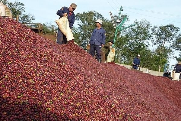 Xuất khẩu cà phê 4 tháng đầu năm giảm nhẹ
