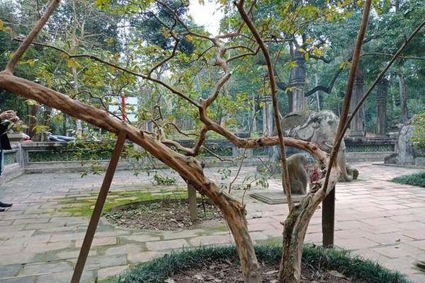 Bí ẩn về cây ổi cứ được 'gãi' là cười ở khu di tích Lam Kinh