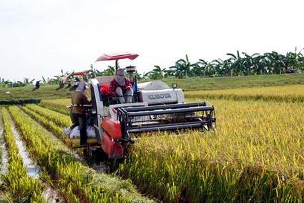 Hoa Lư vào vụ thu hoạch lúa đông xuân