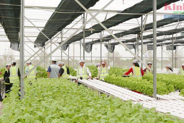 Delco Farm thu hoạch rau cả gốc, giá cao