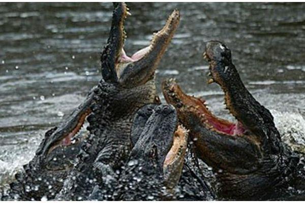 Cặp đôi kinh hãi kể lại cảnh đàn cá sấu ngấu nghiến ăn thi thể đang phân hủy trên hồ