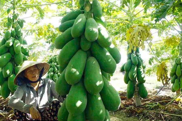 Vườn đu đủ xanh trĩu trái ở Quảng Ngãi