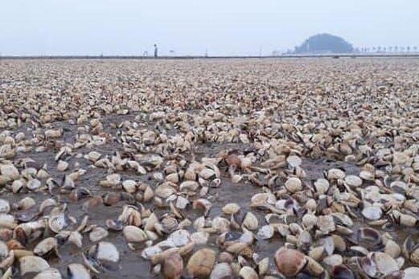 Thái Bình: Ngao chết hàng loạt