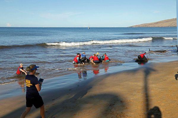 Mỹ trợ tử 4 con cá voi bị mắc cạn trên biển Maui ở Hawaii