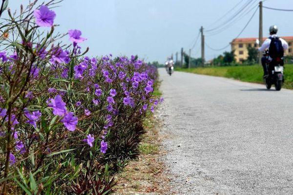 Mê mẩn đường quê ở Nam Định phủ đầy sắc hoa chiều tím