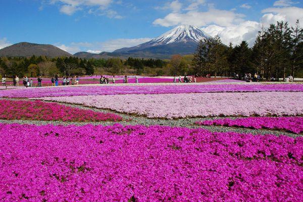 Lạc vào những cánh đồng hoa ngỡ trời Âu ở Nhật Bản