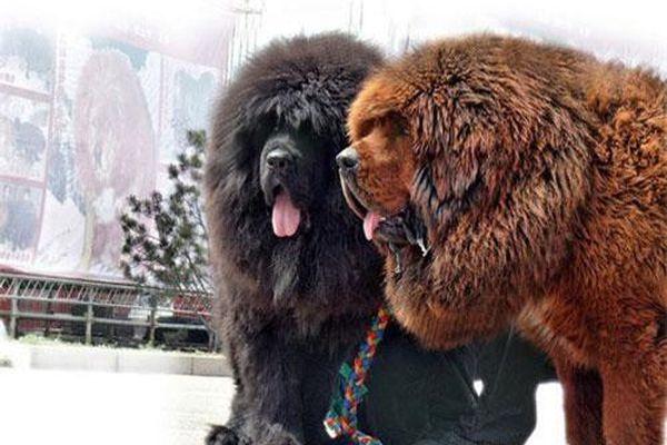 Top 10 giống chó sang chảnh nhất thế giới
