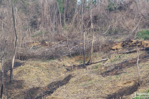 Nghệ An: Phát hiện một hộ gia đình đốt rừng tái sinh để trồng keo