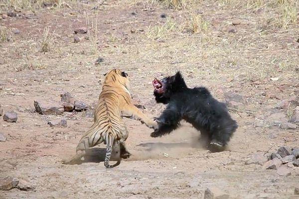 Tranh giành vũng nước, hổ và gấu lợn đánh nhau quyết liệt