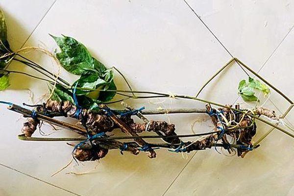 Lâm Đồng thông tin về cây giống sâm Ngọc Linh do người dân ồ ạt đi tìm