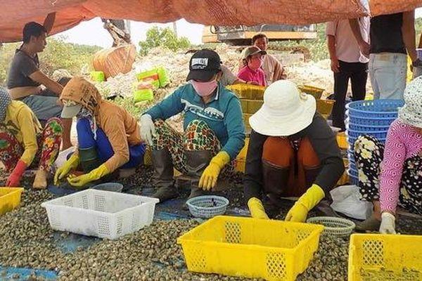 Thương lái săn ốc hương bán cho Trung Quốc