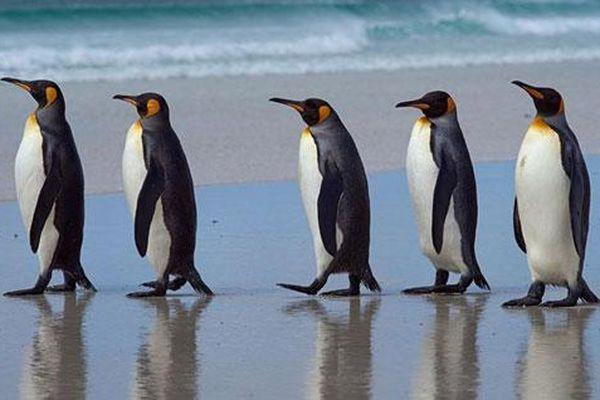 Vì sao chim cánh cụt không thể bay