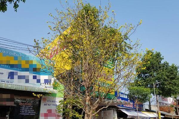 Những cây mai cổ thụ bạc tỷ thách thức đại gia chơi hoa