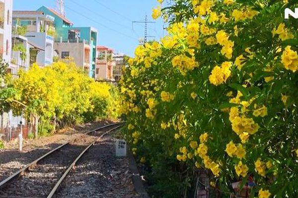 Hoa huỳnh liên 'nhuộm vàng' nhiều tuyến đường ở TP HCM