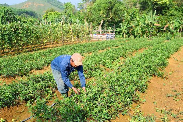 Thoát nghèo nhờ rau hoang dã