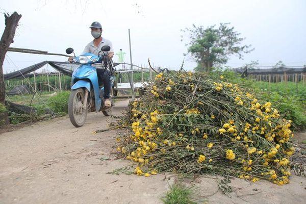 Làng hoa Tây Tựu điêu đứng vì dịch COVID-19: Hoa ly đầy vườn không ai cắt, hoa cúc nhổ bỏ vứt ven đường