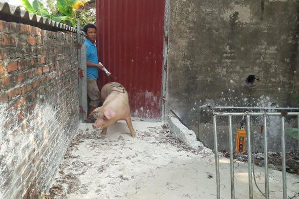 Tái đàn nhưng không chủ quan với bệnh Dịch tả lợn Châu Phi