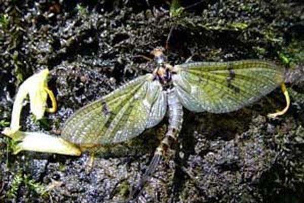 1001 thắc mắc: Loài côn trùng nào có tuổi thọ ngắn ngủi nhất thế giới?