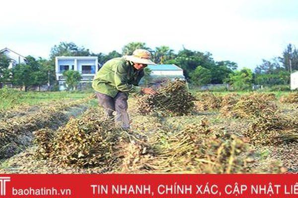 Mùa thu hoạch kém vui ở vựa lạc Hà Tĩnh