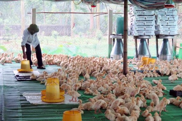Vượt lên bão dịch, chăn nuôi an toàn sinh học vẫn hiệu quả cao